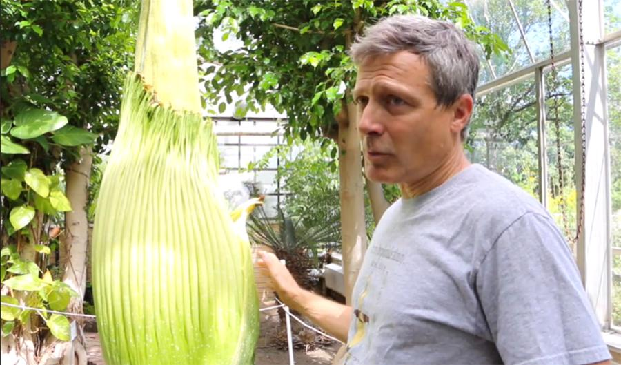 The Blooming of the Corpse Flower: Tropical flower to bloom with rotten odor