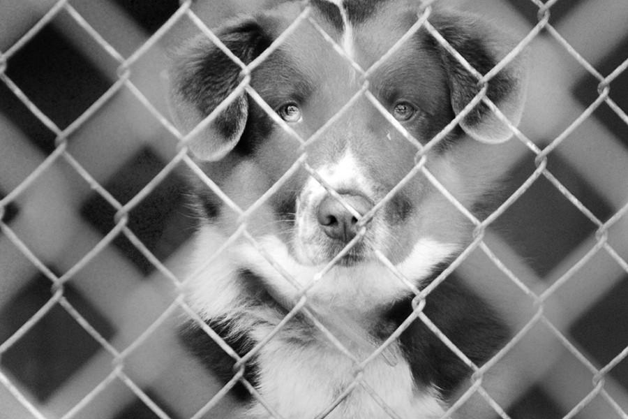 A dog looks through the gate into the parking lot at the Coles County Animal Shelter. The shelter provides indoor and outdoor pens for its dogs, and provides all its animals with blankets, towels and beds.