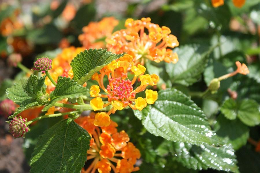 Lantanas are in bloom outside the castle gates of Old Main.  Grounds Gardener Levi Lee selects what flowers will be planted every year. The selections are made as early as winter in order to prepare for the spring flower beds.