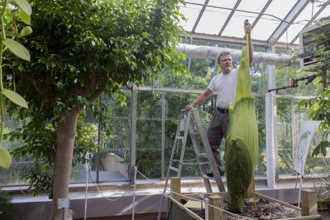 Steven Malehorn, greenhouse manager, measures the height of the Titan Arum Thursday in Thut Greenhouse. This flower was 69.5 inches tall at the time, but Malehorn said he hopes it will beat the 76-inch record from the previous bloom in 2014.