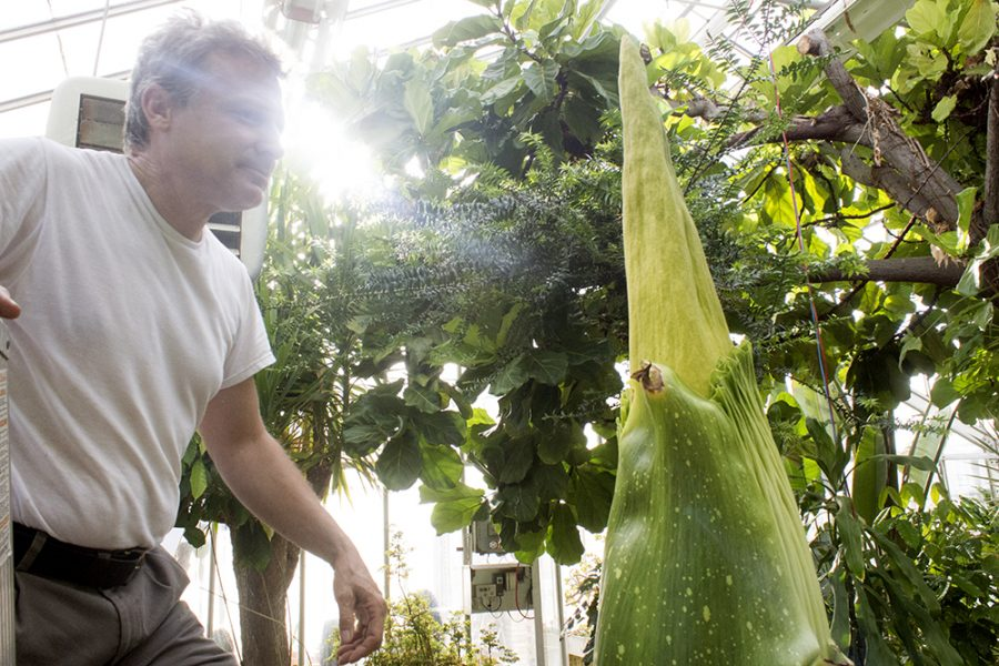 Steven+Malehorn%2C+greenhouse+manager%2C+finishes+checking+the+Titan+Arum%E2%80%99s+spathe+to+see+if++%E2%80%9Cblushing%E2%80%9D+has+started+Thursday+in+Thut+Greenhouse.+When+this+process+begins%2C+the+flower+has+approximately+six+days+before+it+blooms%2C+according+to+data+Malehorn+recorded+during+the+previous+blooms.+While+%E2%80%9Cblushing%E2%80%9D+has+not+yet+started%2C+Malehorn+says+he+hopes+it+will+tomorrow.