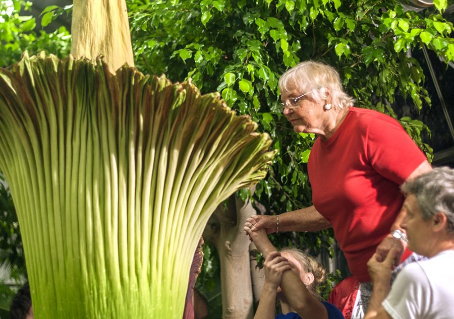 Donna Howse, of Assumption, Illinois, looks at the inside of the titan arum from atop of a step ladder as the flower blooms Wednesday in the Thut Greenhouse. Howse said she had been interested in seeing this plant for a while, but when she and her family got to the greenhouse two years prior, it had already completed its blooming process.