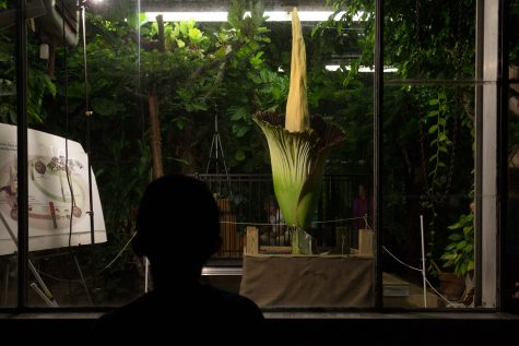 A young boy views the blooming of the Corpse Flower from the safety of the outside at the Thut Greenhouse on Wednesday.