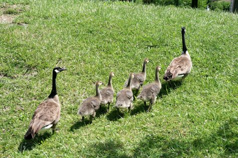 A family of geese parade through the grass near the pond behind Ninth Street hall on Friday afternoon.