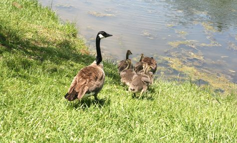 A family of geese make Eastern their home near the pond behind Ninth Street hall on Friday afternoon.