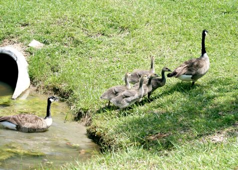 A family of geese exit the pond behind Ninth Street Hall on Friday afternoon.