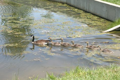 The same family of geese swim through the pond behind Ninth Street hall Friday afternoon.