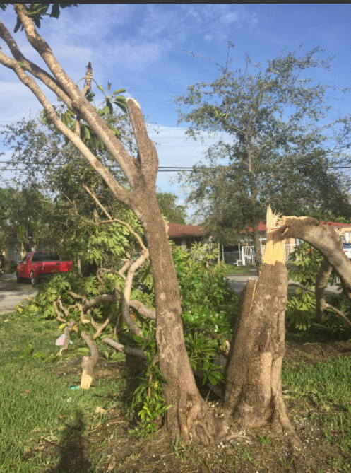 Fallen trees because of Hurricane Irma in front Perera's sister's house in Miami, Fla on Monday, Sept. 11.